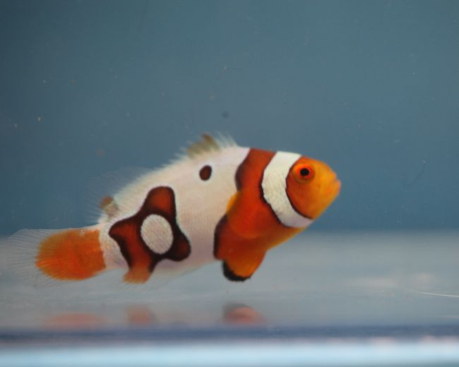 Tank Raised Clown, Picasso (Spots)