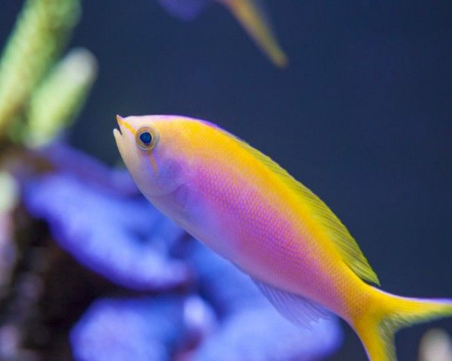 Anthias, Bartletts (Female)