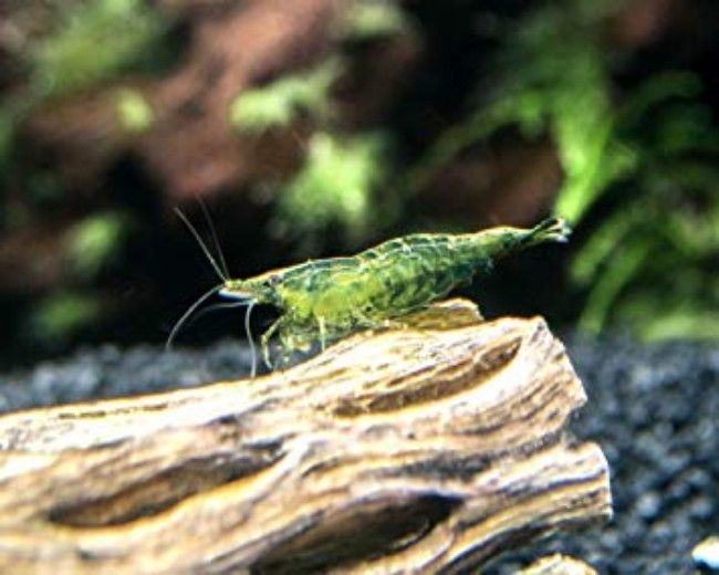 SHRIMP - SUPER JADE GREEN