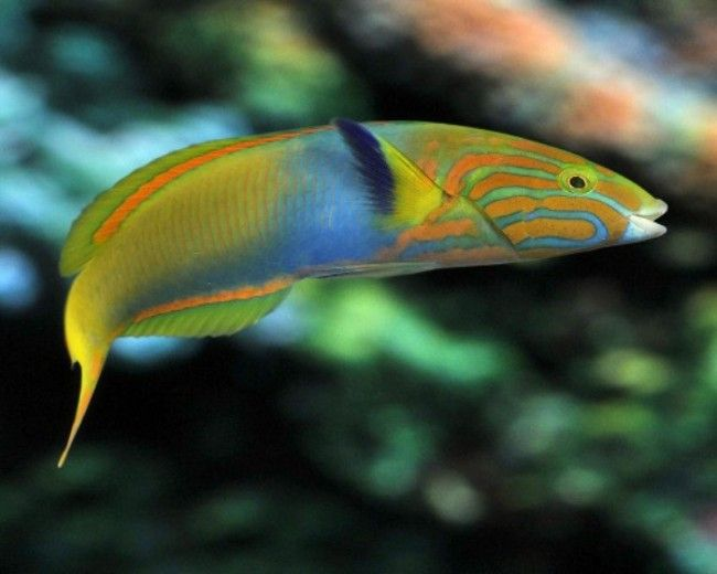 Wrasse, Lime Green - (T. Lutescens)