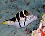 Puffer, Sharpnose Saddle (Haw)