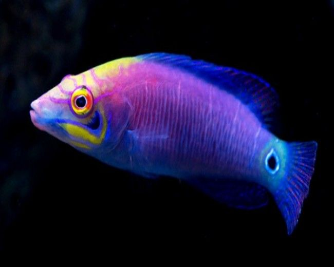 Wrasse, Mystery