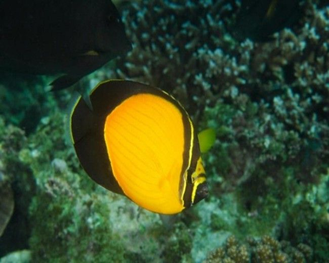 Butterfly, Chaetodon melapterus (Red Sea)