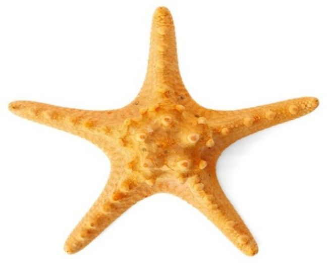 Starfish, Orange Knobby