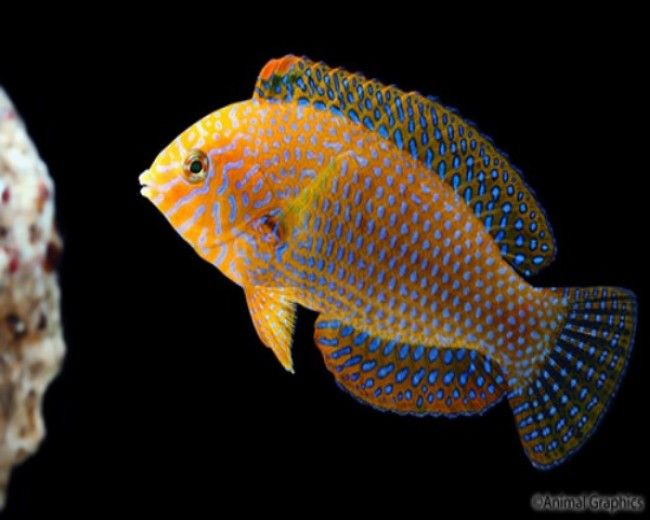 Wrasse, Potters