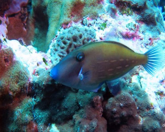 Filefish, Lordhowe Leatherjacket (Aust)