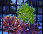 Coral, Torch Branch Multicolor Stem