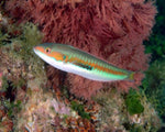 Wrasse, Coris Atlantic (Rainbow) Rare