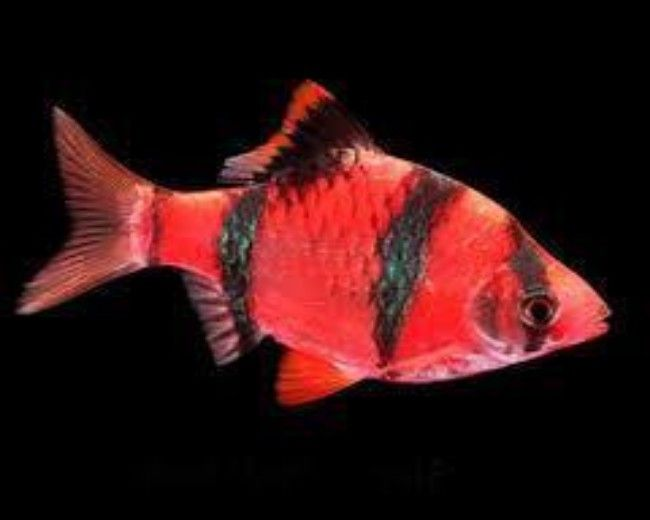 STARFIRE RED GLO BARB