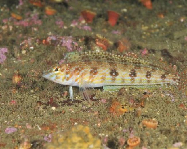 Blenny, Dragon