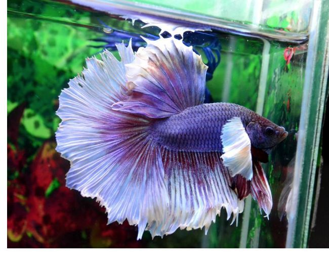 DUMBO EAR BETTA (HALF-MOON)