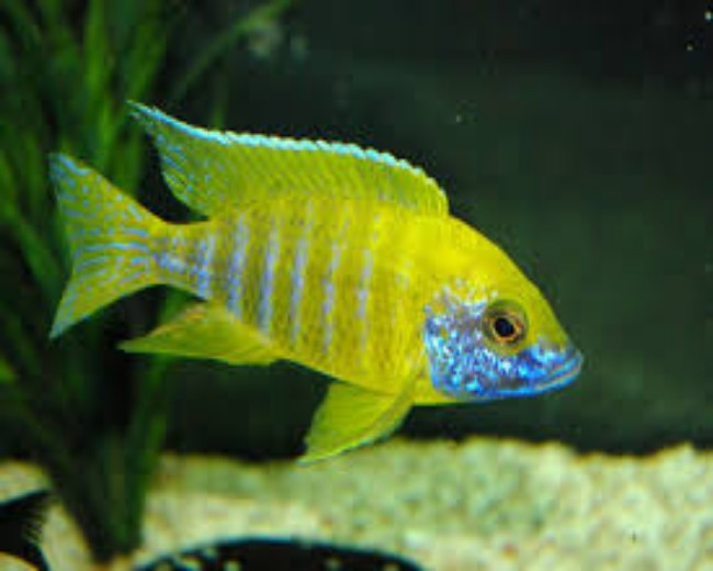 PEACOCK CICHLID - YELLOW