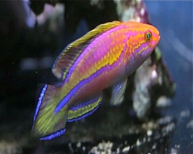Wrasse, Fairy Pintail (Male)
