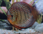 DISCUS - RED TURQUOISE