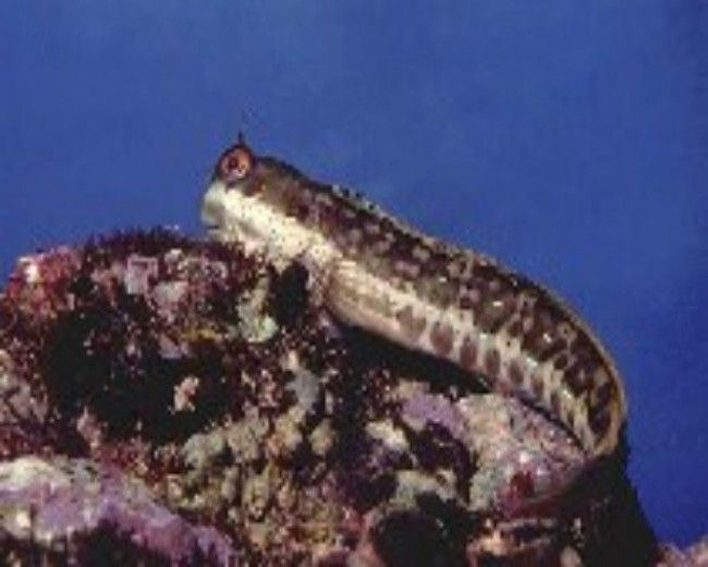 Blenny, Mottled (Istiblennius periophthalmus)