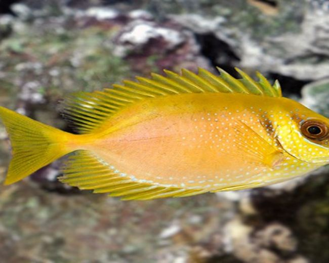 Rabbitfish, Regular