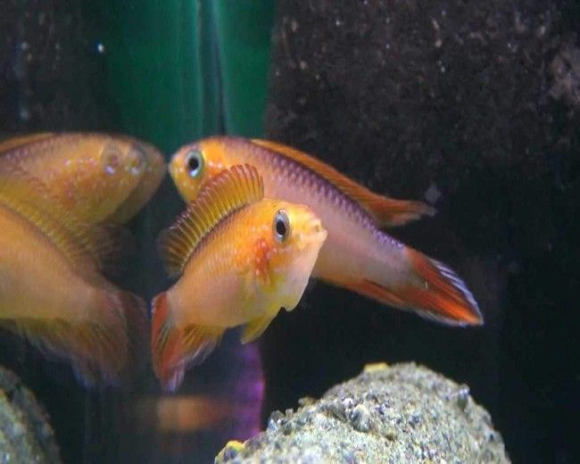 APISTO. AGASSIZI DOUBLE ORANGE SHOW