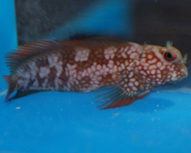Blenny, Ember Stigmaticus (Super Male)