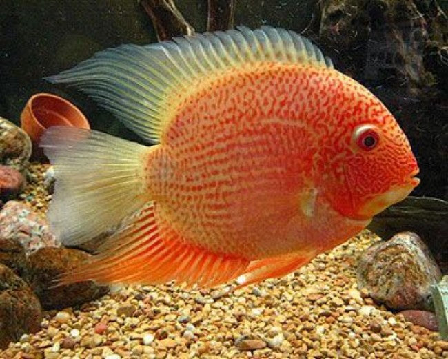 SEVERUM - RED SPOTTED GOLD SEVERUM