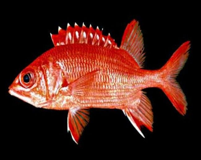 Squirrelfish, Tahitian