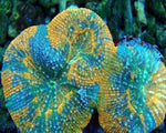 Acanthastrea, Maxima Fancy