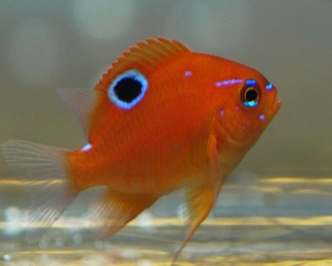 Damsel, Honey Red (Bluespot)