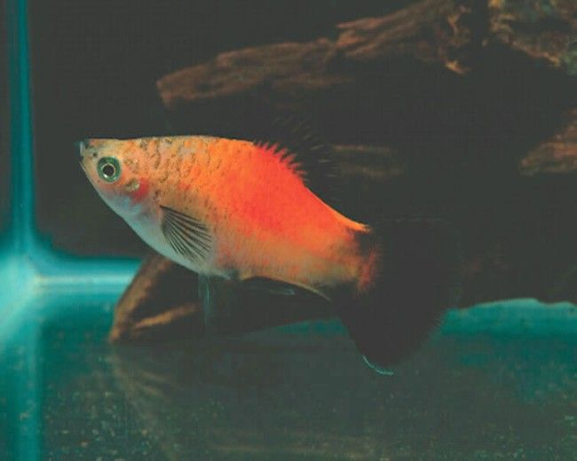 PINEAPPLE WAG PLATY