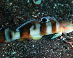Goby, Sleeper Tiger