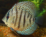 DISCUS - CHECKERBOARD 3""