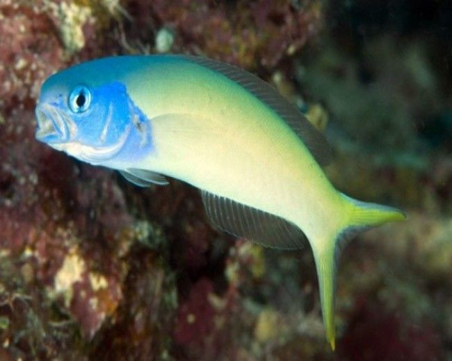 Goby, Tile Bluehead