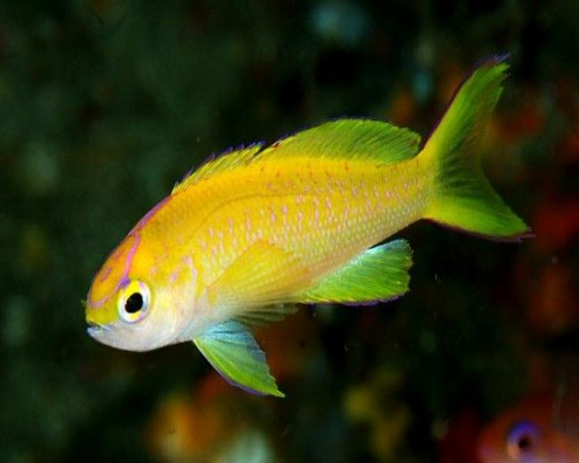 Anthias, Short Snout / Sunset (Parvirostris) Female
