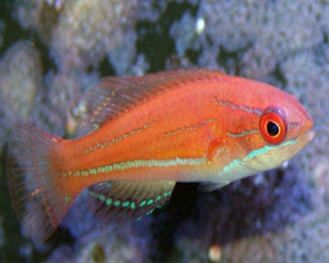 Wrasse, Fairy McCoskers (Female)
