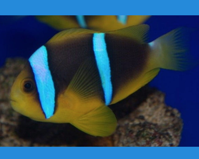 Clown, Bluestripe (Fiji)