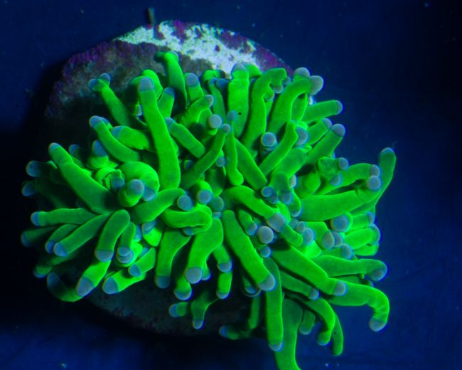Coral, Torch Branch Green Fancy