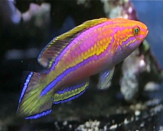 Wrasse,  Fairy Rose-band (Cirrhilabrus roseafascia) Male
