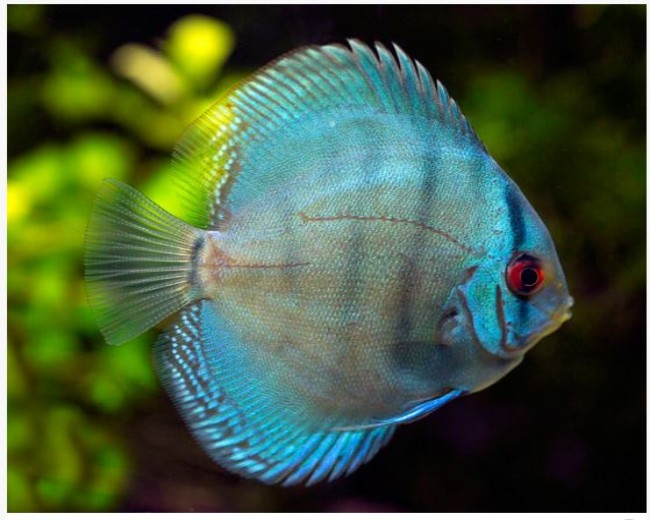 DISCUS - BLUE DIAMOND 3""