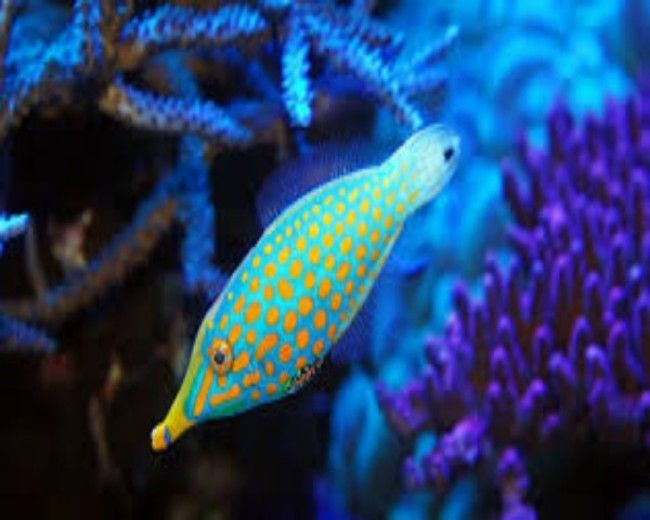 Filefish, Orangespot