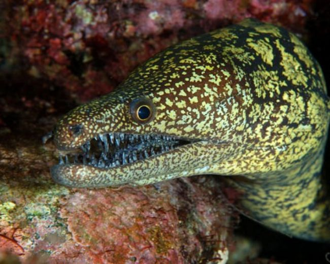 Eel, Moray Greenback