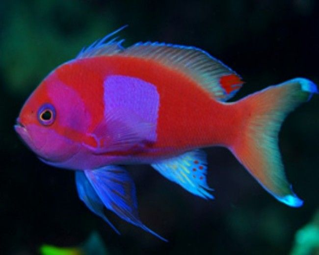 Anthias, Square Male (Pink)