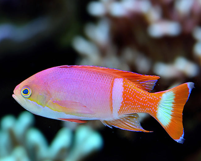 Pictilis Anthias male