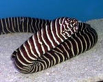 Eel, Moray Zebra