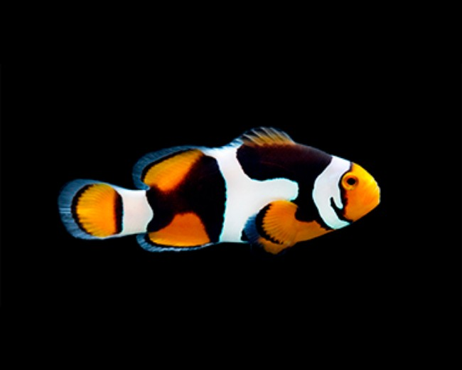 Tank Raised Clown, Percula Onyx