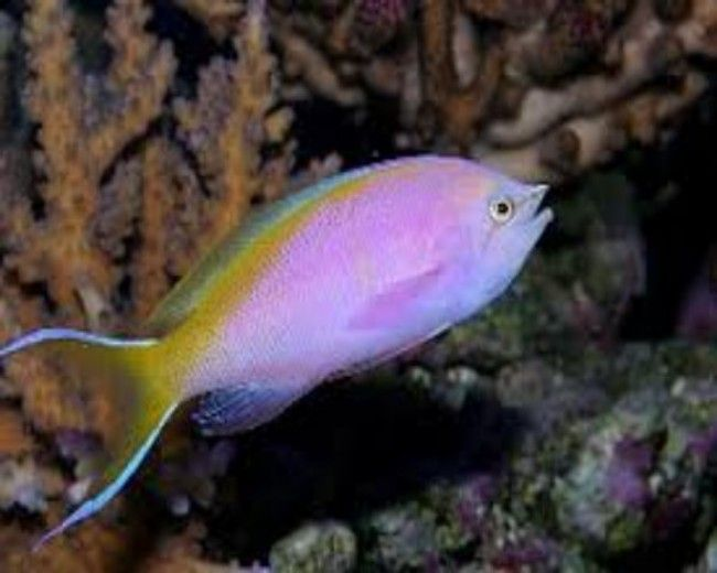 Anthias, Evansi (Female)