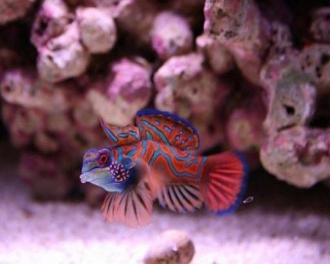 Goby, Mandarin Red
