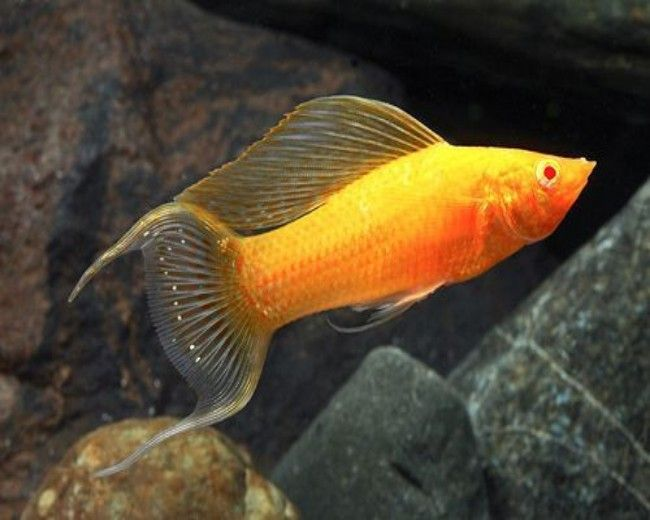 GOLD SAILFIN MOLLY