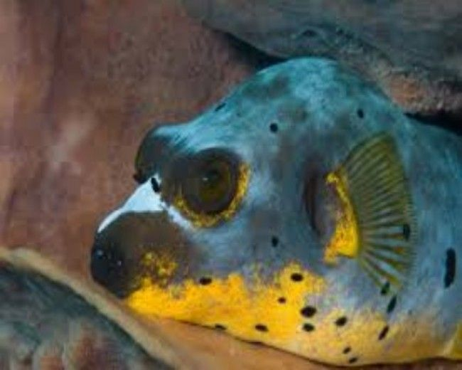 Puffer, Dogface Yellow Belly
