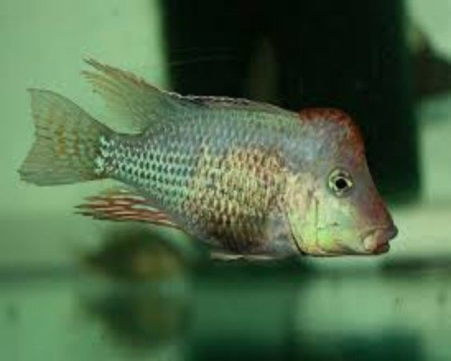 GEOPHAGUS RED HUMP WILD - COLUMBIA