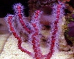 Gorgonia, Finger Red