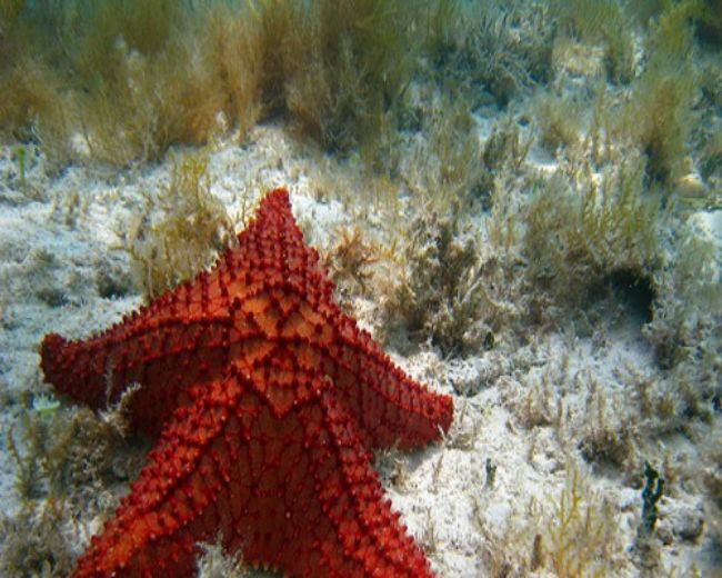Starfish, Spiny Red (Altantic)