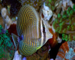 Tang, Sailfin Desjardini (Red Sea)